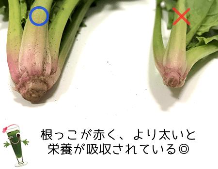 ホウレンソウの根っこ