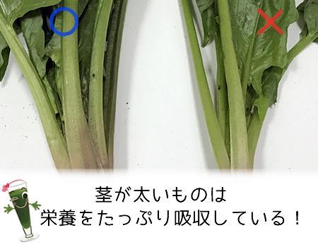 ホウレンソウの茎の太さ