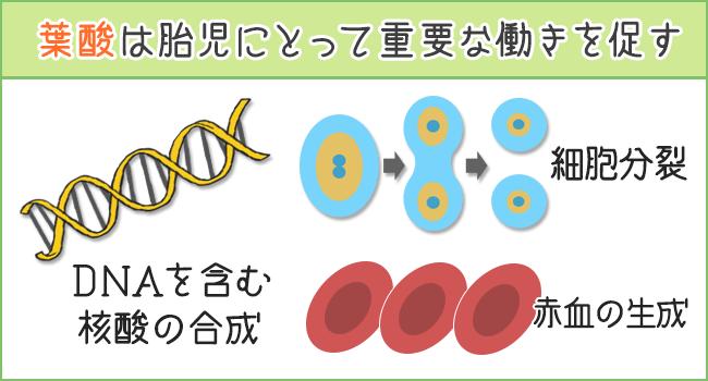 葉酸は胎児に重要な働き