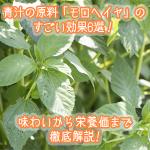 青汁の原料「モロヘイヤ」のすごい効果6選!味わいから栄養価まで徹底解説!