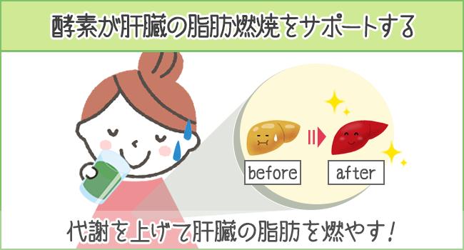 酵素が肝臓燃焼をサポートする